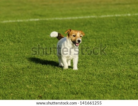 A small white and tan Jack Russell Terrier dog walking on the grass, looking very happy. It known for being confident, highly intelligent and faithful, and views life as a great adventure.