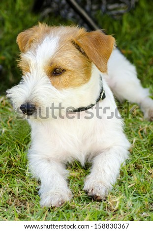 A small white and tan rough coated Jack Russell Terrier dog sitting on the grass, looking happy. It is known for being confident, highly intelligent and faithful, and views life as a great adventure.