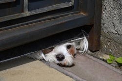 A small white dog peeks out from under an iron fence in sunny day.