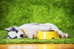 A small white dog puppy breed siberian husky with yellow feeder with dry dogs food lays on green carpet. Dogs and pet photography
