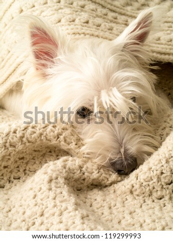 A small white dog snuggling under blankets