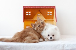 A small white fluffy Pomeranian puppy and a small red kitten are lying in a toy house, snuggled up to each other, the kitten put its head on the puppy