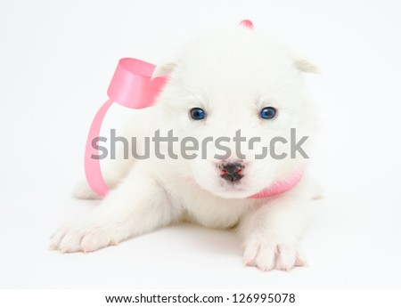 a small white husky puppy with a pink ribbon