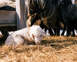 A small white lamb lies in the hay. Sheep on the farm. A flock of multicolored sheep on the farm.