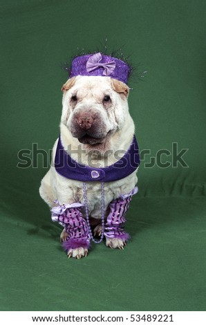 A small white Sharpei wearing a fancy purple costume sits on a green backdrop looking toward the camera.