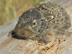 A small wild hare, lying on a log, close-up, in the summer, on a sunny day. Bunny outdoors in natural habitat.