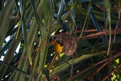 A small yellow bird building her nest in a palm tree in Zanzibar, Tanzania