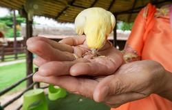 A small yellow domestic bird (cockatiel) is eating some grain on female hands at the farm.