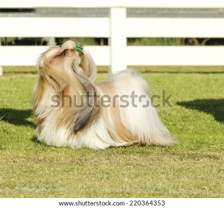 A small young light brown, black and white tan Shih Tzu dog with a long silky coat and braided head coat standing on the grass looking up
