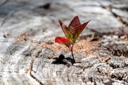 A small young tree is growing on a dead cut down tree, A small tree young plant growing up from old trunk, Strong and development concept, Adaptation concept, New life