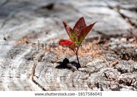 A small young tree is growing on a dead cut down tree, A small tree young plant growing up from old trunk, Strong and development concept, Adaptation concept, New life Stockfoto ©