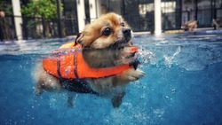 A smiley cute dog, brown petite one, is swimming with the orange lifeguard jacket in the new blue pool to get a soft exercise. Water therapy is a good healing and comfortable relaxing activity.
