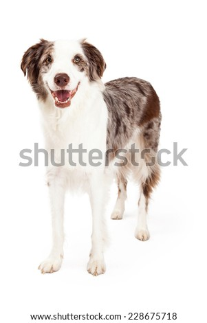 A smiling Border Collie Dog standing while looking directly into the camera.  #228675718