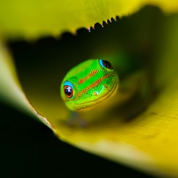 a smiling gold dust day gecko in sunny honolulu hawaii