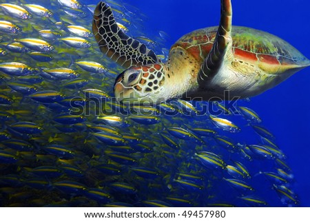 A smiling green turtle at Sipadan, Borneo, Malaysia - stock photo
