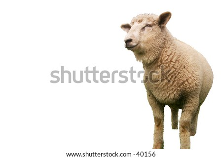 A smiling lamb isolated on a white background