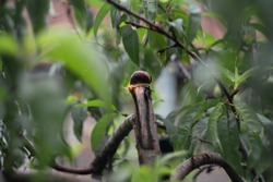 A snail climbed onto a branch of a green peach tree on a rainy day. Snail among green leaves on a cloudy day in a home garden