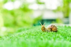 A Snail crawling on green grass in the garden.