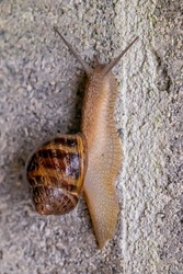 A snail crawls on a gray concrete wall with the shell wet from the rain