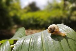 A snail crawls on a leaf.