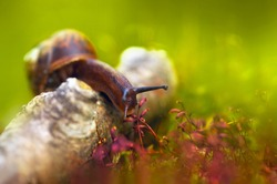 A snail in the forest in summer crawls through a log and smell a plant close-up. A snail with antennae tentacles macro on a blurred green background with soft focus. Funny artistic image.