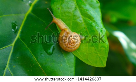A snail is, in loose terms, a shelled gastropod. The name is most often applied to land snails, terrestrial pulmonate gastropod molluscs, snail on natural green blur background