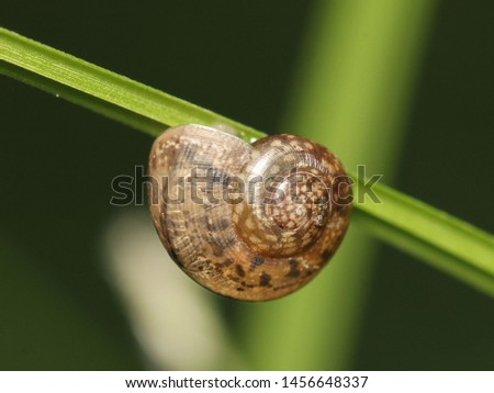 A snail is, in loose terms, a shelled members of the molluscan class Gastropoda that have a coiled shell. Here this young one has attached itself to a grass blade. #1456648337