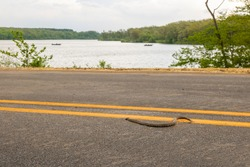 A snake slithers across a street next to a lake.