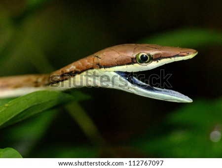 A snake threatening to bite - Brown or Mexican VIne Snake, Oxybelis aeneus