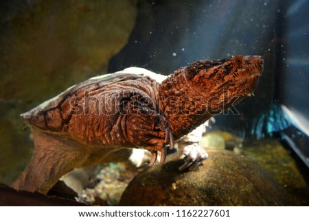 A snapping turtle submerged in water. #1162227601