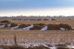 A snow-covered field of mown wheat, heaps of thrown straw. Winter landscape.