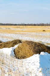 A snow-covered field of mown wheat, heaps of thrown straw. Winter landscape. Focus on the foreground. Bright sunny morning.