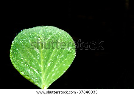 A Snow Pea Leaf with Drops of Dew Isolated over Black