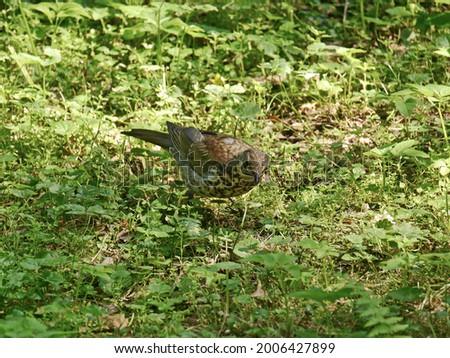 A snowbird (Turdus pilaris) sitting in the grass Stock fotó ©