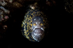 A Snowflake moray eel pokes its head out of a crevice on a coral reef in Indonesia. Moray eels are one of the many predatory fish found on coral reefs throughout the world.