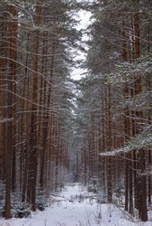 A snowy coniferous forest. A path in the snowy forest.