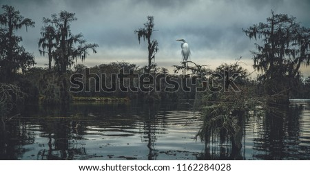 A snowy egret stops on the branch of a cypress tree in the middle of Lake Martin, a bayou in the swampland surrounding Breaux Bridge in the St. Martin Parish of Louisiana, USA.