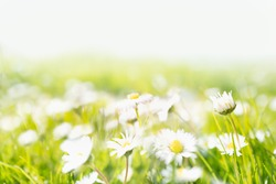 A soft focus grassy meadow of daisies with copy space