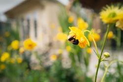 A soft focus image of yellow Geum flowers around a summer house in a garden or back yard with a bumble bee upside down collecting nectar from one of the flowers in the foreground
