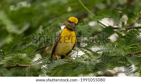 A soft focus of a yellow baya weaver bird perched on a tree in the woods Foto stock ©
