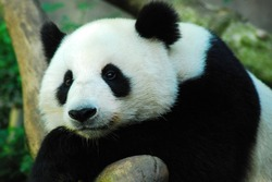 A solemn panda bear