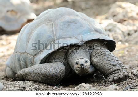 A solitary Aldabra giant tortoise, scientifically known as Aldabrachelys gigantea, is one of the largest tortoises in the world, Prison Island, Zanzibar
