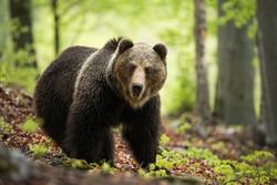 A solitary brown bear, ursus arctos, with thick wet fur standing on the foliage surrounded by the blooming trees. An adult male looking into the camera with open mouth in springtime.
