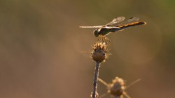 A solitary dragonfly sitting still on a brier under the last sunlight rays.