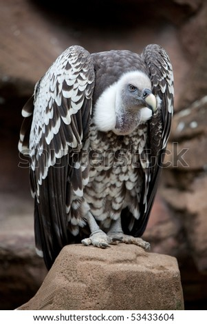 A solitary Griffin Vulture perched on a Rock