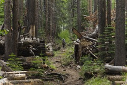 A solitary hiker walks down a dirt trail in a deep, dense pine forest with fallen trees and cut logs to either side
