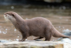 A solitary otter stands alone on a rock in a pool of water.