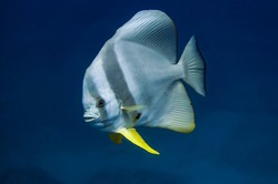 A solitary Tall-fin batfish  with a high dorsal fin and bright yellow ventral fins. On a flat, broad body, it has transverse stripes of a darker color.