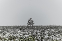 A solitary tree in a sage field on a dreary overcast day.
