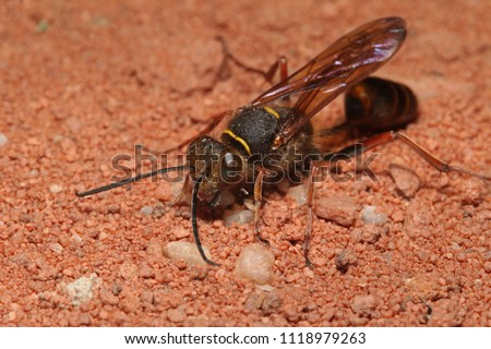 A solitary wasp species, which builds nests out of mud, on a close up horizontal picture. It is native to some regions of Asia and invasive to Europe.